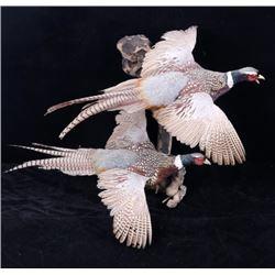Montana Pheasants Full Body Wall Mount