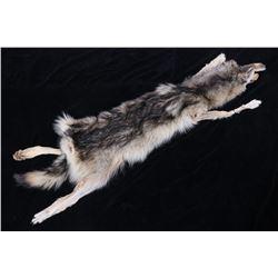 Montana Grey Wolf Taxidermy Hide