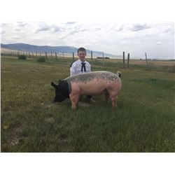 Rowen Bailey - Blue Ribbon Market Hog (Weight: 243)