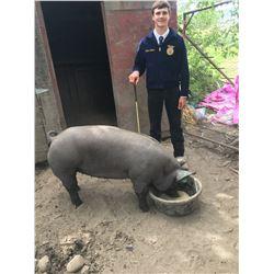 Kaden Pittman, FFA  - Red Ribbon Market Hog (Weight: 381)