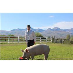 Garet Lessley  - Red Ribbon Market Hog (Weight: 366)