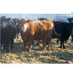 Little Rainbow Ranch 1060# Steers