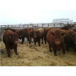 Wayne & Brian Slenders 950# Steers