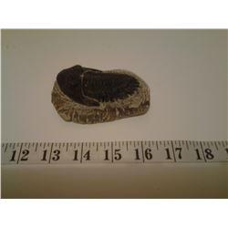 Metacanthina Trilobite fossil