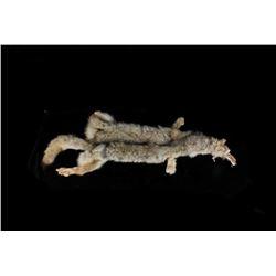 Montana Taxidermy Coyote Fur Hide