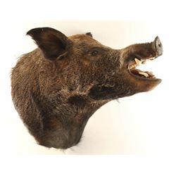 Large Boar Head Mount
