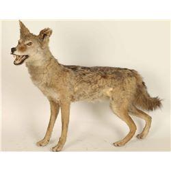 Full Mounted Arizona Coyote