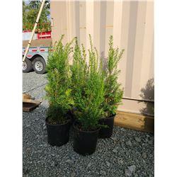 Hicks Yew Plants