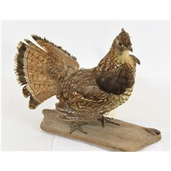 Ruffed Grouse Mount