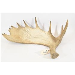 Single Moose Antler Shed