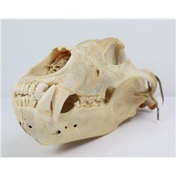 Large Kodiak Brown Grizzly Bear Skull w/ Tag