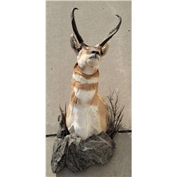Large Montana Taxidermy Pronghorn Antelope