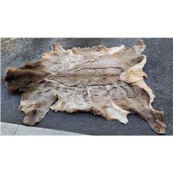 Large Montana Taxidermy Elk Hide w/ Art