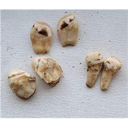 3 Sets of Montana Bull Elk Ivory Teeth