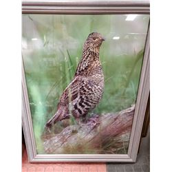 18 X 24 FRAMED PHEASANT PICTURE