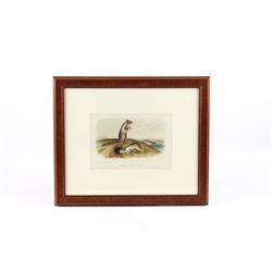 JJ Audubon Douglasses Spermophile Lithograph No10