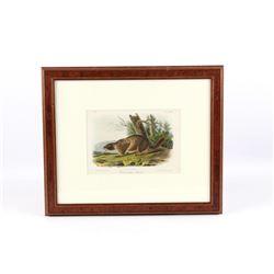Original JW Audubon Framed Marmot Lithograph No27