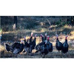 Spring Goulds Turkey Hunt For One Hunter on 2021