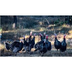 Spring Goulds Turkey Hunt For One Hunter on 2022