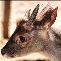 Temazate Tropical Deer 2022