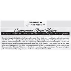 Commerical Bred Heifers - GROUP A