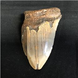 Genuine Megalodon Fossil Shark Tooth