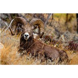 California Bighorn Ram Metal Print