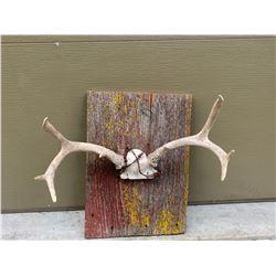 Antique Mule deer w/ barbed-wire wall display coat rack