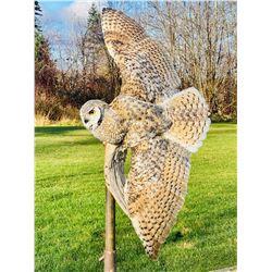 Flying Great Horned Owl Mount