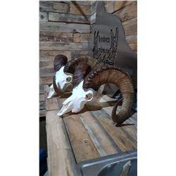 Sheep Skull Beetle Cleaning/European Mount