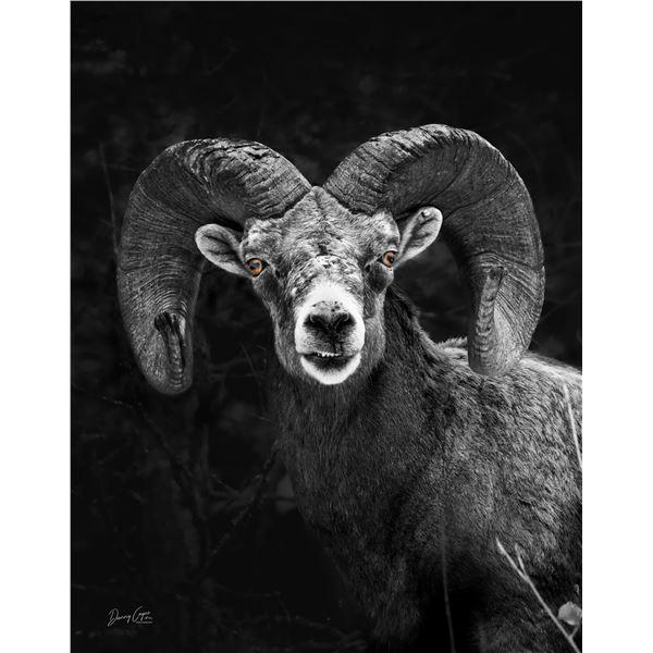 Bighorn Ram 11x14 print