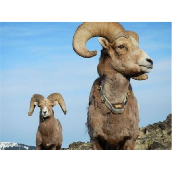 "Bighorn Sheep Tracking Collar - ""Raising awareness of Mycoplasma Ovipneumoniae"""