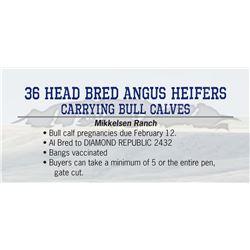 36 Head bred Angus Heifers carrying bull Calves