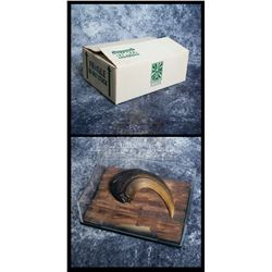Icons Authentic Replicas – Velociraptor Claw & Display Case – A738