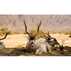 Texas Addax Antelope Hunt for 1
