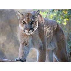 New Mexico Mountain Lion Hunt