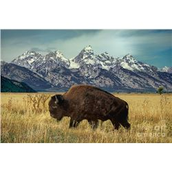 WYOMING GOVERNORS WILD BISON LICENSE
