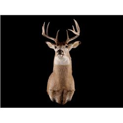 Montana 5 x 5 Trophy White Tail Deer Mount