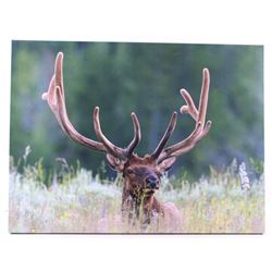 Rocky Mountain Elk Photo On Canvas