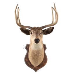 Montana White Tail 4x3 Taxidermy Shoulder Mount