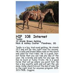 Teddy - 12 Grade Brown Gelding