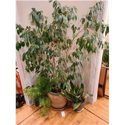 Indoor Tree in decorative pot A