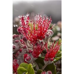 Metal Print 'Ohia in in the Rain' by William Weaver 16x24 Ready to Hang, $147 Value