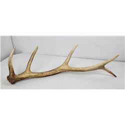 Montana Elk Horn Antler Shed