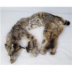 Very Nice Montana Tanned Bobcat Hide Fur Pelt