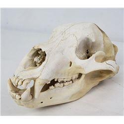 Alaskan Black Bear Skull Taxidermy
