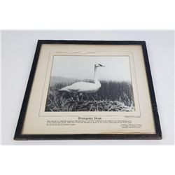 Trumpeter Swan Photo US National Park Service