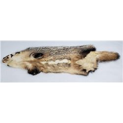 Large Montana Tanned Taxidermy Badger