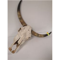 BULL SKULL WITH HORNS FOR DISPLAY