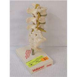 VINTAGE DOCTORS SPINAL CORD DISPLAY MODEL